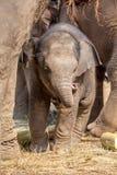 Ung elefant Arkivbild