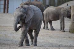 Ung elefant Royaltyfri Foto