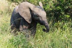 Ung elefant royaltyfria foton