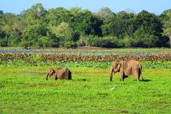 Ung elefant med modern royaltyfria bilder
