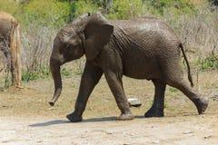 Ung elefant som är ny från det bevattna hålet royaltyfria bilder