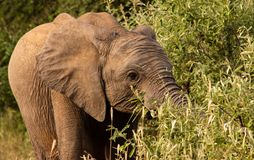 Ung elefant som betar på ett träd fotografering för bildbyråer