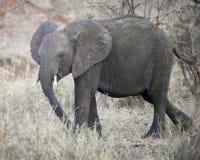 Ung elefant som går sideview Arkivbild