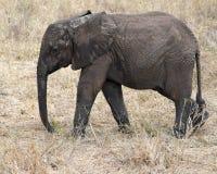 Ung elefant som går sideview Royaltyfria Bilder