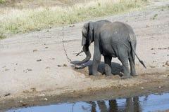 Ung elefant som spelar på sandig flodsäng, tillbaka till kameran Arkivfoton
