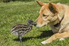 Ung emufågelunge med den gulliga hunden tillsammans Royaltyfri Foto
