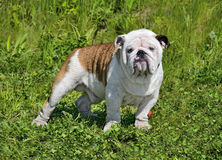 Ung engelsk bulldogg Arkivbilder