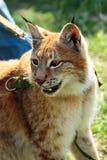 Ung eurasianlodjur på en koppel Fotografering för Bildbyråer