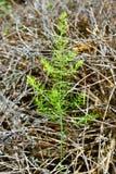 Ung fänkålplantaväxt med torkad oreganoBac Royaltyfri Bild