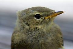 Ung fågel Royaltyfria Foton