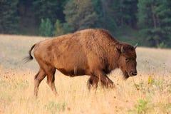 Ung för buffelkalv för amerikansk bison stående för sida i ottaljus Arkivbilder
