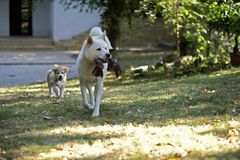 Ung familjhund som spelar med valpen i trädgård arkivfoton