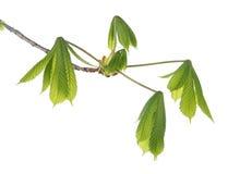 Ung filial av det kastanjebruna trädet för häst Royaltyfri Foto