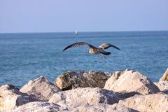 Ung fiskmås, seagull Royaltyfri Fotografi