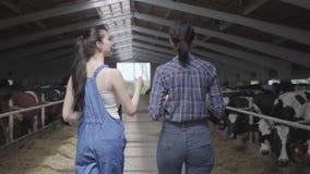 Ung flickabönder som gör, turnerar av ladugården med kor på lantgården Flickabonden visar på de besökarekorna och kalvarna arkivfilmer