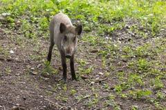 Ung foraging för vildsvin Arkivfoto