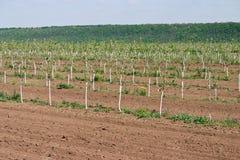 Ung fruktträdgård Rad av fruktträd Växa för frukt Fotografering för Bildbyråer