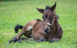 Ung fullblods- häst som vilar i gräset Fotografering för Bildbyråer