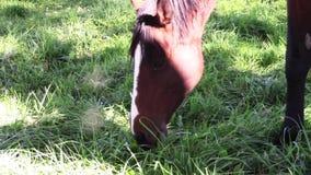 Ung fullblods- lopphäst som äter gräs lager videofilmer