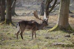 Ung fullvuxen hankronhjort f?r r?da hjortar utanf?r h?stskog i Dyrehaven, Danmark royaltyfri bild