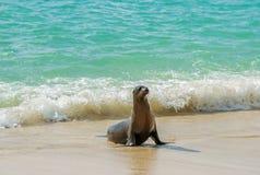 Ung Galapagos sjölejon, Galapagos öar, Ecuador fotografering för bildbyråer