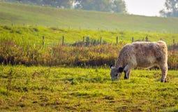 Ung Galloway kalv som betar i daggigt gräs Fotografering för Bildbyråer