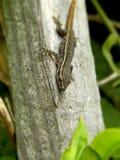 Ung gecko 1 Arkivbilder