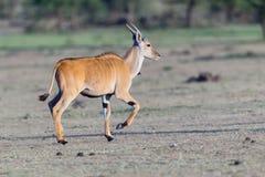 Ung gemensam eland som traver Arkivfoton