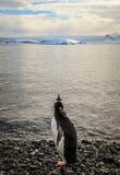 Ung Gentoo pingvin som ser hans framtida marin- liv, Cuverville ö, Antarktis Royaltyfri Bild