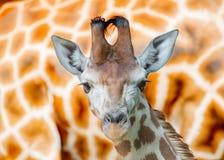 Ung giraff Fotografering för Bildbyråer