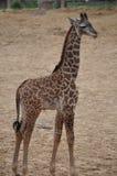 Ung giraff Arkivbilder