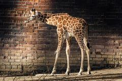 Ung giraff Arkivfoton