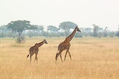 Ung giraff och moder royaltyfri bild