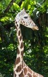 Ung giraff på zoo Arkivbild