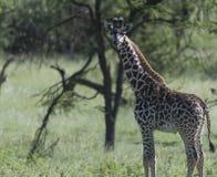 Ung giraff som ser kameran royaltyfria foton