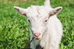 Ung goatling med horn som äter en filial på en bakgrund av grönt gräs arkivfoton