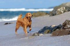 Ung golden retriever på stranden Fotografering för Bildbyråer