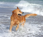 Ung golden retriever på stranden Royaltyfria Bilder