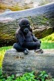Ung gorillaapa arkivbilder