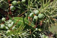 Ung gräshoppa på en en Royaltyfria Foton