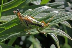 Ung gräshoppa på ett blad Arkivfoton