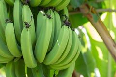 Ung grön banan på tree Arkivfoton