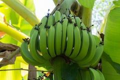 Ung grön banan på tree Omoget knäpp slut upp Royaltyfria Foton
