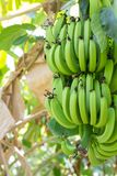 Ung grön banan på tree Omoget knäpp slut upp Royaltyfria Bilder