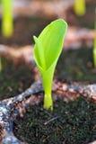 Ung grön havre, majs, majsplanta i fröskidan för experiment. Arkivfoto