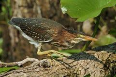 Ung grön Heron som förföljer dess rov Royaltyfria Bilder