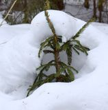 Ung gran i vinterskogen arkivfoton
