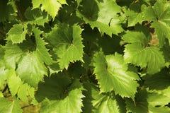 Ung grape-vine i vingården Royaltyfri Bild