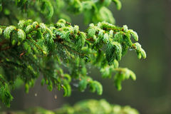 Ung grodd av granen, naturlig skog Royaltyfria Foton