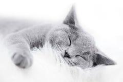 Ung gullig katt som vilar på vit päls Arkivfoton